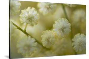 White Mimosa Tree (Acacia Dealbata) Flowers, Madeira, March 2009 by Radisics