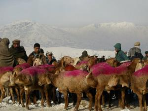 Afghan Men Look at Sheep with Their Backs Painted in Red, Kabul, Afghanistan, December 28, 2006 by Rafiq Maqbool