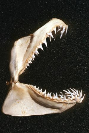 Ragged-Tooth Shark Jaw