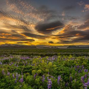 Lupines, Myrdalssandur, South Coast, Iceland by Ragnar Th Sigurdsson
