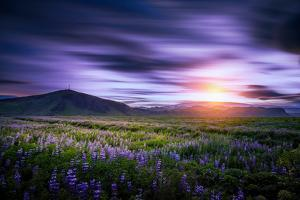 Lupines, Myrdalssandur, South Coast, Iceland by Ragnar Th Sigurdsson