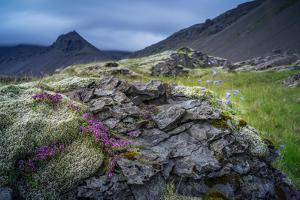 Summer Wildflowers and Herbs Growing around Moss and Lava Rocks by Ragnar Th Sigurdsson