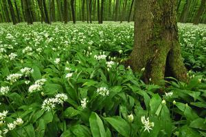 Beech-Forest, Forest-Ground, Bear-Leek by Raimund Linke