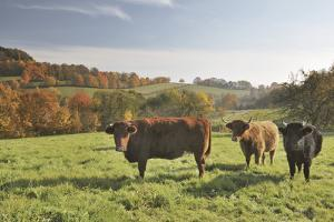 Cows, Autumn, Lindenfels (Town), Odenwald (Low Mountain Range), Hesse, Germany by Raimund Linke