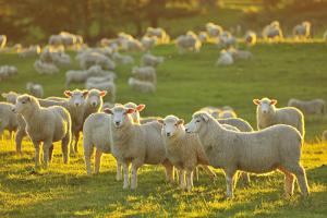 Flock of Sheep by Raimund Linke
