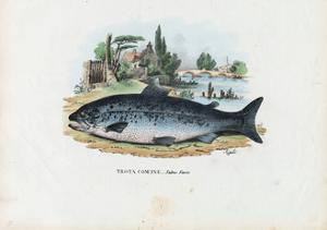 Brown Trout, 1863-79 by Raimundo Petraroja