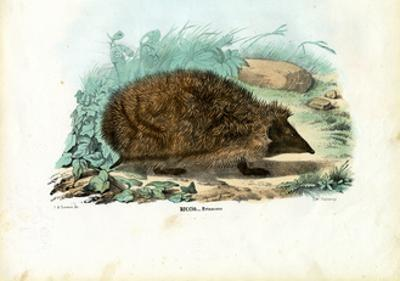Hedgehog, 1863-79 by Raimundo Petraroja