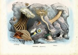 Sea Anemones, 1863-79 by Raimundo Petraroja
