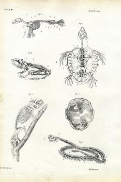 Turtle, 1863-79 by Raimundo Petraroja