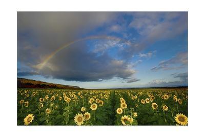 https://imgc.allpostersimages.com/img/posters/rainbow-over-sunflower-field_u-L-Q1CAYEY0.jpg?artPerspective=n