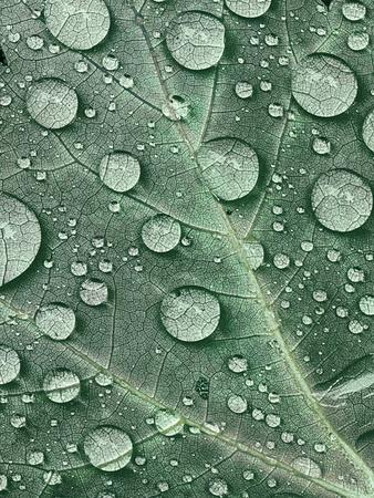 https://imgc.allpostersimages.com/img/posters/raindrops-on-red-maple-leaf-new-york-usa_u-L-PN6RT70.jpg?p=0