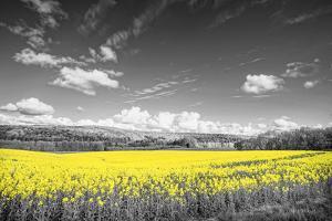 Oilseed Rape Fields by Rainer Maria