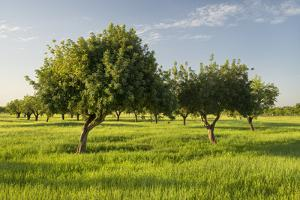 Almonds, Majorca, the Balearic Islands, Spain by Rainer Mirau