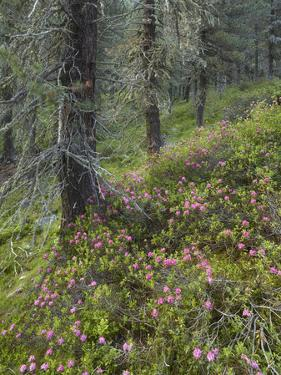 Alpine Rose, Swiss Pine Wood, National Park Hohe Tauern, Tyrol, Austria by Rainer Mirau