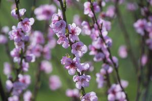 Apricot Blossom, Austria by Rainer Mirau