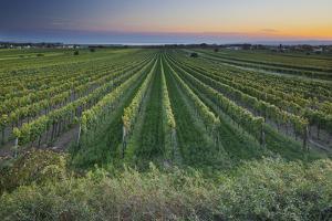 Austria, Burgenland, Neusiedl Am See, Vines by Rainer Mirau