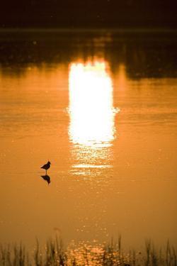 Austria, Burgenland, Neusiedlersee (Lake), Fertš National Park, Water, Bird, Sundown by Rainer Mirau