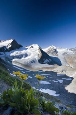 Austria, Tyrol, ?tztaler Alpen, Wildspitze, Summit, Pippau, Crepis by Rainer Mirau
