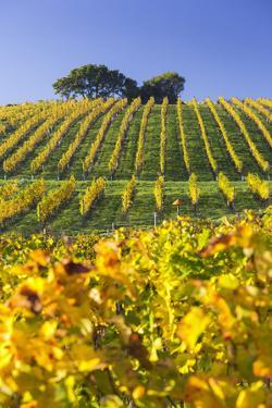 Autumnal Vineyards Between Gumpoldskirchen and Baden Bei Wien, Vienna Basin, Lower Austria, Austria by Rainer Mirau