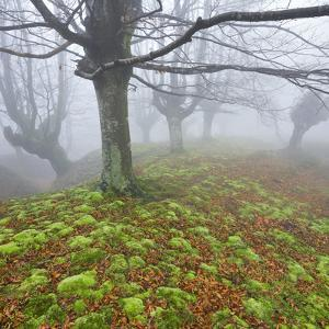 Beech Forest in the Gorbea Nature Reserve, Fog, Moss, Basque Country, Spain by Rainer Mirau