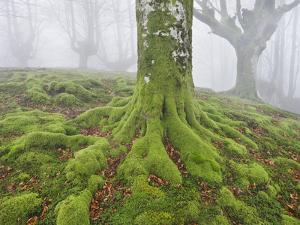 Beech Forest in the Gorbea Nature Reserve, Fog, Moss, the Basque Provinces, Spain by Rainer Mirau