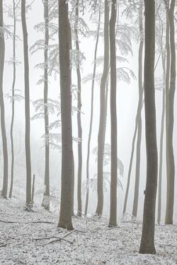 Beeches in Fog, Austria by Rainer Mirau