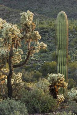 Carnegiea Gigantea, Saguaro Cacti, Hieroglyphic Trail, Lost Dutchman State Park, Arizona, Usa by Rainer Mirau