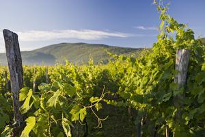 Croatia, Kvarner Gulf, Krk (Island), Vines, Vines, Wine-Growing, Vines by Rainer Mirau
