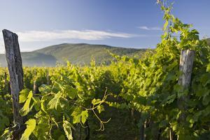 Croatia, Kvarner Gulf, Krk (Island), Vines, Vines, Wine-Growing, Vines by Rainer Mirau