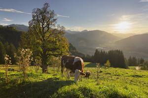 Evening Mood at the Kitzb?heler Horn, Cows, Tyrol, Austria by Rainer Mirau