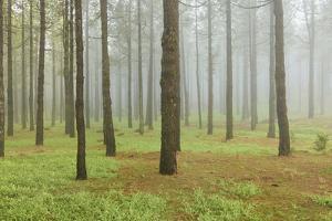 Fog, Coniferous Forest, Island La Palma, Canary Islands, Spain by Rainer Mirau