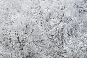Hoarfrost in the Viennese Wood, Helenental, Baden Near Vienna, Austria by Rainer Mirau