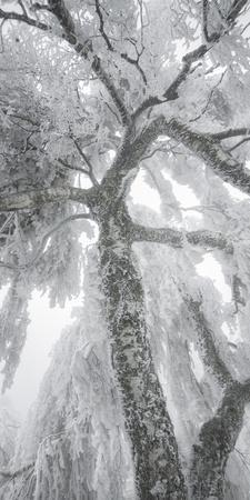 Iced Up Weeping Willows in the Wechsel Region, Lower Austria, Austria