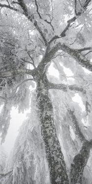 Iced Up Weeping Willows in the Wechsel Region, Lower Austria, Austria by Rainer Mirau