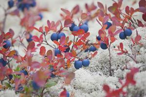 Norway, Hedmark, Blueberries by Rainer Mirau