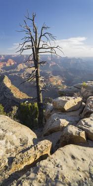 Old Tree, Grand View Point, Grand Canyon National Park, Arizona, Usa by Rainer Mirau