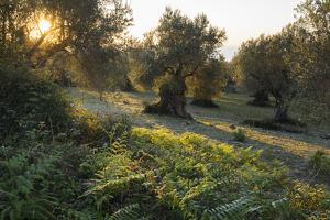 Olive Trees at Deia, Majorca, the Balearic Islands, Spain by Rainer Mirau