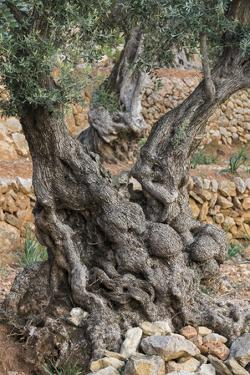Olive Trees at Deia, Old, Gnarledly, Majorca, the Balearic Islands, Spain by Rainer Mirau