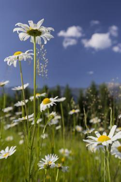Oxeye Daisy (Leucanthemum Vulgare), Flower Meadow, Near Windischgarsten, Upper Austria by Rainer Mirau