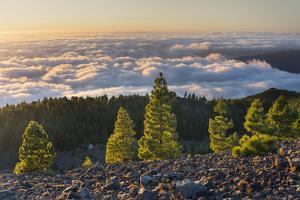 Pines in the Parque Natural Cumbre Vieja, Island La Palma, Canary Islands, Spain by Rainer Mirau