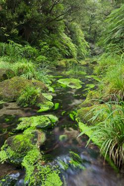 Rain Forest, Omanawa Gorge, Bay of Plenty, North Island, New Zealand by Rainer Mirau