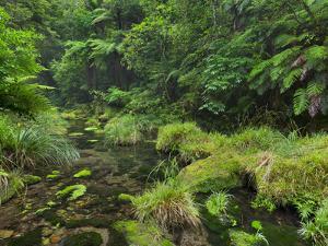 Rain Forest, Omanawa Gorge, Bay of Plenty, North Island, New Zealand by Rainer Mirau