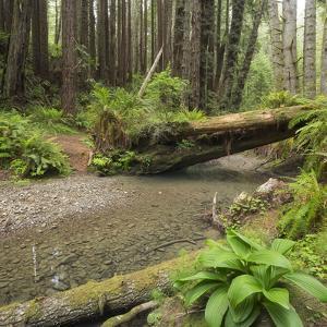 Redwood, Stochoff Creek, Stillwater Cove Regional Park, Sonoma Coast, California, Usa by Rainer Mirau