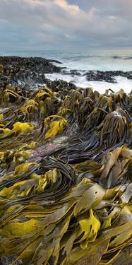 Seaweed, Waipapa Coast, Catlins, Southland, South Island, New Zealand by Rainer Mirau