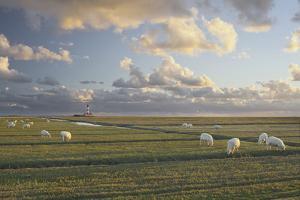 Sheep, Lighthouse of Westerhever (Municipality), Schleswig-Holstein, Germany by Rainer Mirau