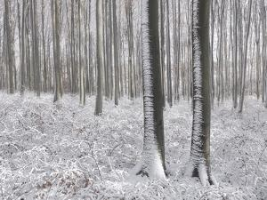 Snow-Covered Beeches in the Viennese Wood, Austria by Rainer Mirau