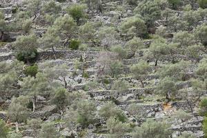Spain, Majorca, Serra De Tramuntana, Caimari, Olive Grove, Terraces by Rainer Mirau