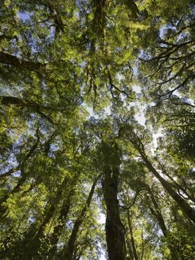 Tree Tops, Wood, Fiordland National Park, Southland, South Island, New Zealand by Rainer Mirau