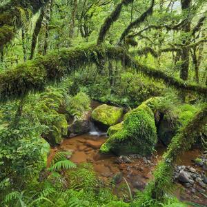 Wood, Ferns, Moss, Brook, Fiordland National Park, Southland, South Island, New Zealand by Rainer Mirau
