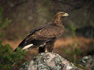 Portrait of a Golden Eagle, Highlands, Scotland, United Kingdom, Europe by Rainford Roy